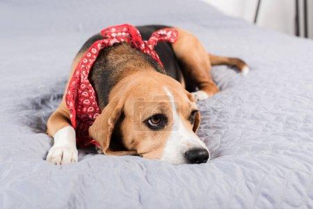 Photo pour Triste chien beagle en bandana rouge couché sur le lit - image libre de droit