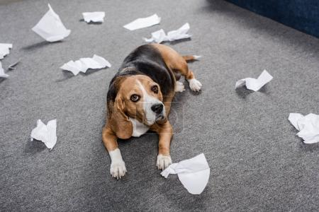 Photo for Guilty beagle dog with torn paper lying on floor at home - Royalty Free Image