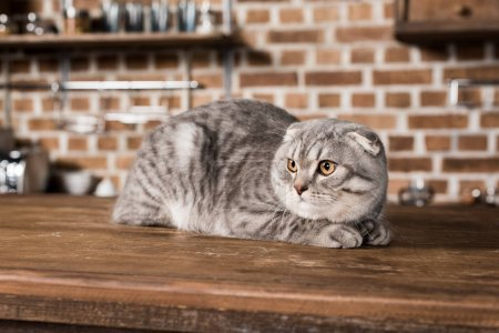 Grey fluffy scottish fold cat lying on wooden tabl...