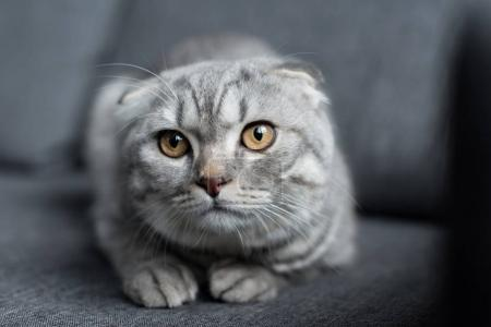 Portrait of grey scottish fold cat lying on sofa a...