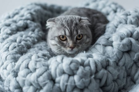 Photo for Grey fluffy scottish fold cat lying on wool blanket in bedroom - Royalty Free Image