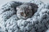 """Постер, картина, фотообои """"Кошка на шерстяное одеяло"""""""