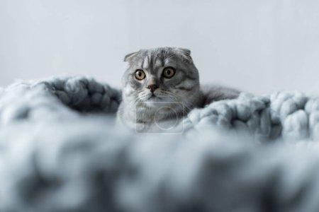 Foto de Gris escocés esponjosa doble gato tumbado sobre la manta de lana en dormitorio - Imagen libre de derechos