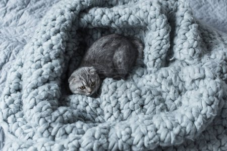 Photo for Top view of grey fluffy scottish fold cat lying on wool blanket in bedroom - Royalty Free Image