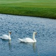 Pair of beautiful white swans swimming in pond at ...