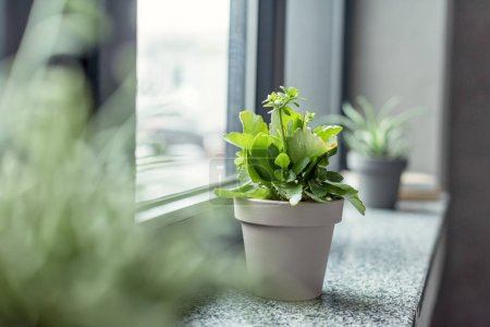Photo for Close up view of green plant in flowerpot on windowsill in room - Royalty Free Image