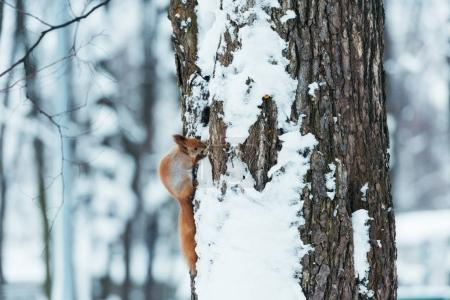 Photo for Selective focus of cute squirrel sitting on tree in winter forest - Royalty Free Image
