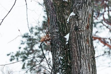 Photo pour Mise au point sélective d'écureuil mignon assis sur l'arbre dans la forêt d'hiver - image libre de droit