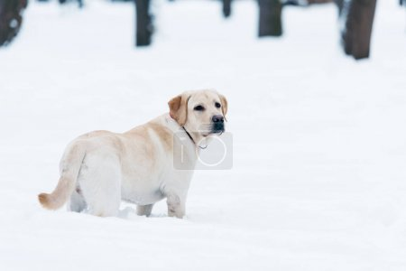 selective focus of labrador dog standing in snow in park