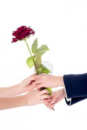 cropped shot of little kids holding rose flower in hands isolated on white