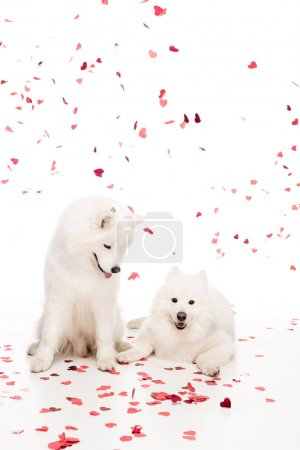 two samoyed dogs under falling heart shaped confetti on white, valentines day concept