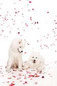 """Постер, картина, фотообои """"две самоеда собаки под падение сердце сформировал конфетти на белый, день Святого Валентина концепции"""""""