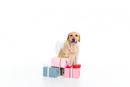 golden retriever dog with gift boxes, isolated on white