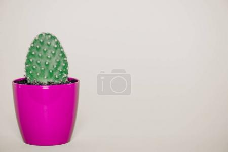 close-up view of green cactus growing in purple pot isolated on grey