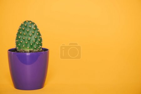 close-up view of green cactus with thorns growing in blue pot isolated on yellow