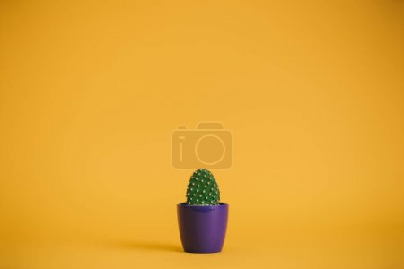 beautiful green cactus in purple pot on yellow