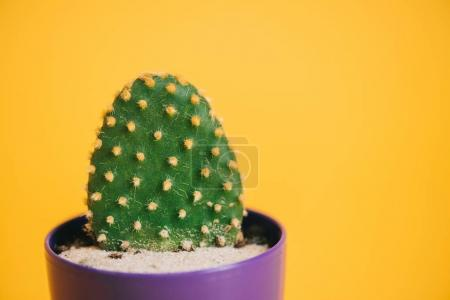 close-up view of beautiful green cactus in purple pot isolated on yellow