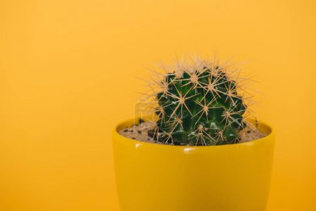 close-up view of beautiful green cactus with thorns in yellow pot isolated on yellow