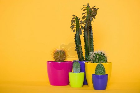 beautiful green succulents with thorns in colorful pots isolated on yellow