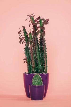 beautiful green succulents with leaves and thorns in purple pots on pink