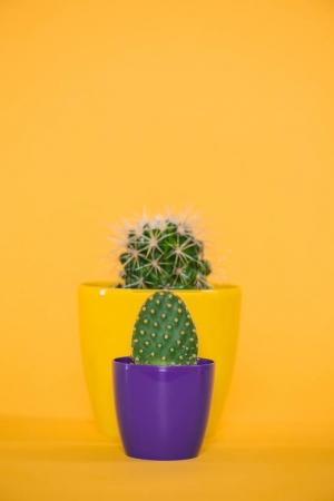 close-up view of cactuses in yellow and purple pots isolated on yellow