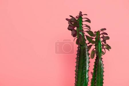 Photo for Beautiful green cactuses with thorns and leaves isolated on pink - Royalty Free Image