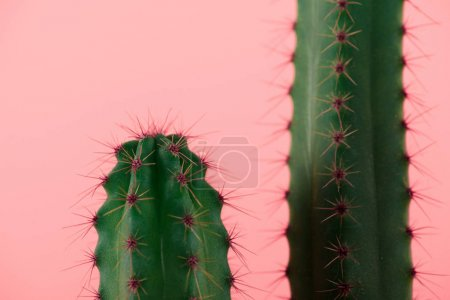 Photo for Close-up view of beautiful green cactuses with thorns isolated on pink - Royalty Free Image