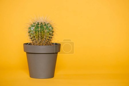 beautiful green cactus in pot isolated on yellow