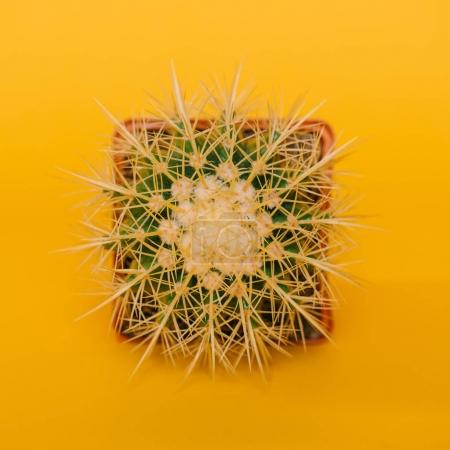 top view of beautiful green cactus in pot isolated on yellow