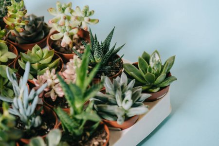 Photo for Close-up view of various beautiful green succulents in pots on grey - Royalty Free Image
