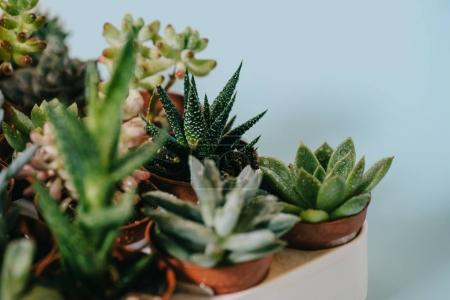 selective focus of various beautiful green succulents on grey