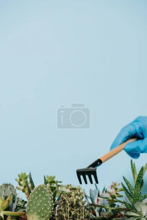 close-up view of human hand in glove holding rake and green succulents isolated on grey