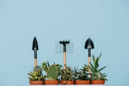 green succulents in pots and rake with shovels isolated on grey