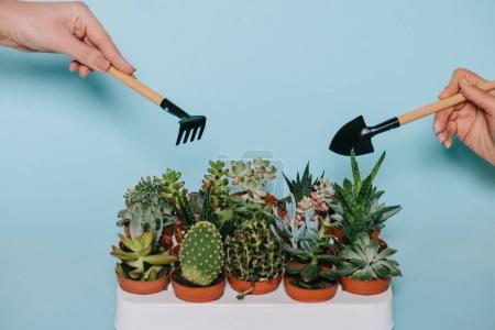 close-up partial view of human hands holding gardening tools and succulents in pots isolated on grey