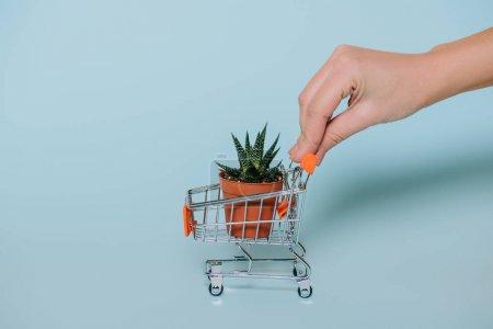 gros plan vue partielle de la main de l'homme tenant caddie avec succulentes en pot sur fond gris