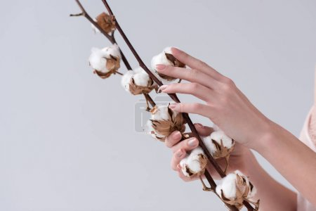 cropped view of tender female hands with dry cotton flowers, isolated on grey