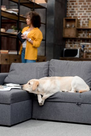 adorable labrador lying on couch while his owner taking book from bookshelf