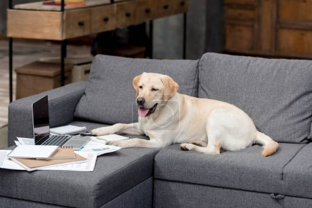 funny labrador dog lying on couch with documents and laptop