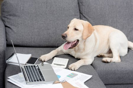 beautiful labrador dog lying on couch with documents and laptop