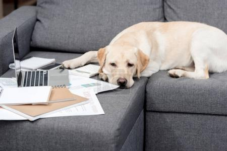 exhausted labrador dog lying on couch with documents and laptop