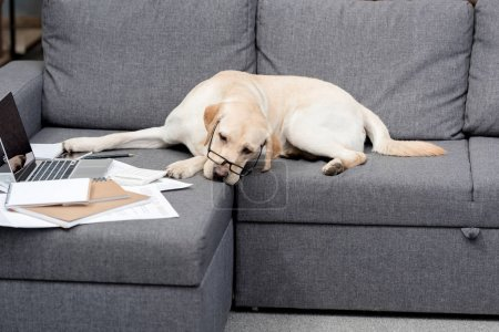 tired labrador dog in eyeglasses lying on couch with documents and laptop