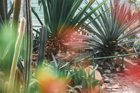 succulents and cactuses in tropical garden with lens flare