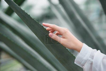 vue partielle de la tendre main féminine avec aloès laisse