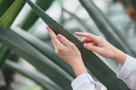 vue recadrée de tendres mains féminines avec des feuilles d'aloès