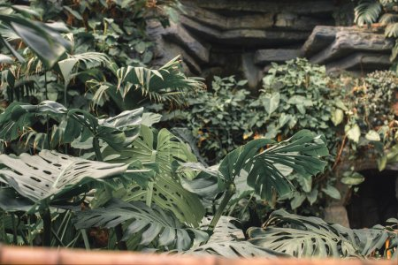 green monstera leaves in tropical garden