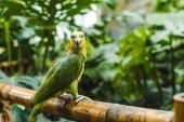 """Постер, картина, фотообои """"красивые afrotropical Зеленый попугай усаживаться на забор бамбука в тропическом парке"""""""