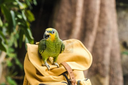 beautiful green afrotropical parrot perching on vintage yellow backpack