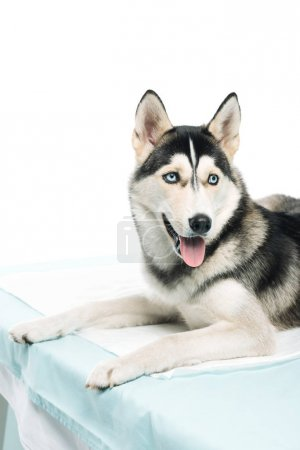 husky laying on vet table isolated on white background