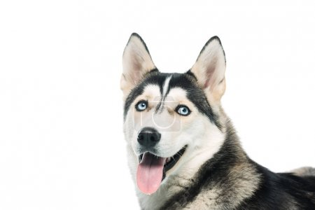 portrait of cute husky isolated on white background