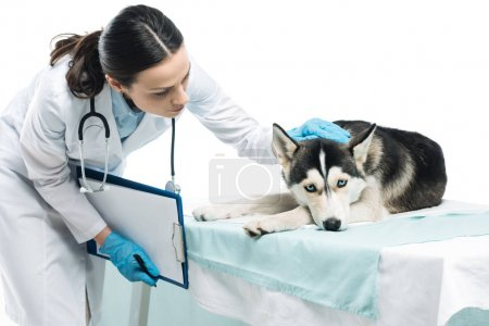 young female veterinarian examining husky isolated on white background